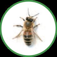 image-bee